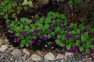Crowded Primula